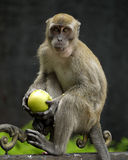 Affe, der Apple hält Stockfotografie