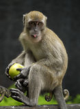 Affe, der Apple isst Stockfotografie
