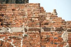 Affe, der auf alter Wand sitzt Stockbilder