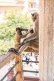 Affe, der auf Balkon sitzt Lizenzfreie Stockfotografie