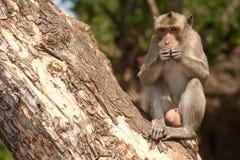 Affe, der auf Baum (Macaca Fascicularis) sitzt. Lizenzfreie Stockbilder