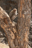 Affe, der auf Baum (Macaca Fascicularis) sitzt. Stockfotos