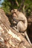 Affe, der auf Baum (Macaca Fascicularis) sitzt. Lizenzfreies Stockfoto