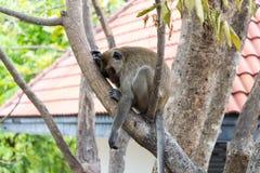 Affe, der auf Baum schläft Lizenzfreies Stockbild