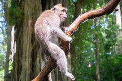 Affe, der auf Baum sitzt und herum schaut Lizenzfreie Stockbilder