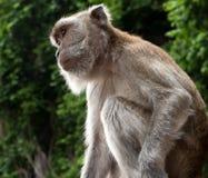 Affe, der auf Beitrag hockt Lizenzfreies Stockfoto