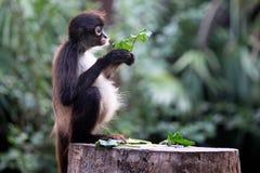 Affe, der auf Blatt eine Kleinigkeit isst Lizenzfreies Stockfoto