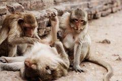 Affe, der auf Boden liegt Lizenzfreie Stockfotos
