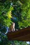 Affe, der auf Dach sitzt Lizenzfreie Stockbilder