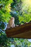 Affe, der auf Dach sitzt Stockfotografie