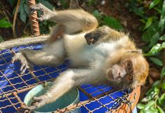 Affe, der auf dem Abfall liegt Stockbilder