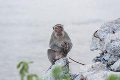 Affe, der auf dem aufpassenden Meer des Felsens sitzt Lizenzfreie Stockbilder