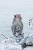 Affe, der auf dem aufpassenden Meer des Felsens sitzt Stockfotos