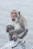 Affe, der auf dem aufpassenden Meer des Felsens sitzt Stockfoto