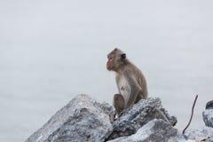 Affe, der auf dem aufpassenden Meer des Felsens sitzt Lizenzfreie Stockfotos