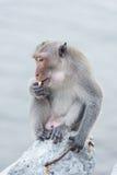 Affe, der auf dem aufpassenden Meer des Felsens sitzt Lizenzfreies Stockfoto