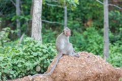 Affe, der auf dem aufpassenden Meer des Felsens sitzt Stockbild