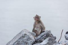 Affe, der auf dem aufpassenden Meer des Felsens sitzt Stockfotografie