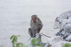 Affe, der auf dem aufpassenden Meer des Felsens sitzt Stockbilder