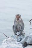 Affe, der auf dem aufpassenden Meer des Felsens sitzt Lizenzfreies Stockbild