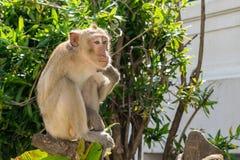 Affe, der auf dem Baum beim Denken sitzt Lizenzfreie Stockbilder