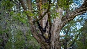 Affe, der auf dem Baum klettert Stockfoto
