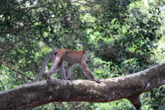 Affe, der auf dem Baum klettert Stockfotografie
