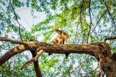 Affe, der auf dem Baum verbindet Lizenzfreie Stockfotografie