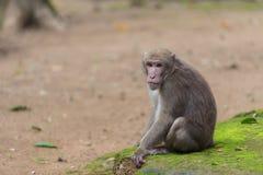 Affe, der auf dem Boden sitzt Stockbild