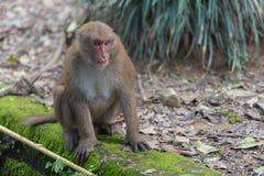 Affe, der auf dem Boden sitzt Lizenzfreie Stockfotografie
