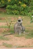 Affe, der auf dem Boden sitzt Stockfotos
