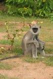 Affe, der auf dem Boden sitzt Lizenzfreies Stockfoto