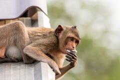 Affe, der auf dem Dach isst Lizenzfreie Stockbilder