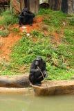 Affe, der auf dem Fluss sitzt Stockfotografie