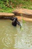 Affe, der auf dem Fluss sitzt Stockbild