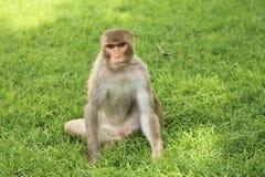 Affe, der auf dem Gras sitzt Lizenzfreie Stockbilder