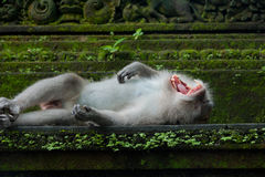 Affe, der auf dem Stein gähnt Lizenzfreie Stockbilder