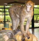 Affe, der auf dem Stein sitzt Lizenzfreies Stockbild