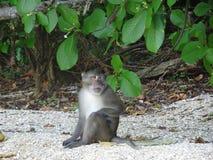 Affe, der auf dem Strand in Thailand sitzt Stockbild