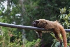 Affe, der auf dem Stromdraht liegt stockbilder