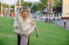 Affe, der auf dem Zaun sitzt Stockfoto