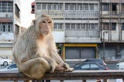 Affe, der auf dem Zaun sitzt Stockbilder