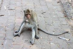 Affe, der auf dem Zement sitzt Stockbild