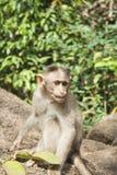 Affe, der auf den Felsen sitzt Stockbild