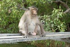 Affe, der auf der hölzernen Plattform sitzt Stockbilder
