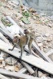 Affe, der auf der Rückseite des anderen hängt Lizenzfreie Stockbilder