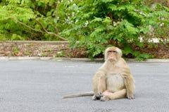 Affe, der auf der Straße sitzt Stockfotos