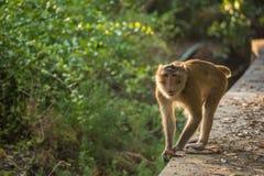 Affe, der auf die Bahn geht Selektiver Fokus Lizenzfreie Stockfotos