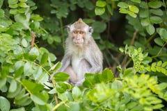 Affe, der auf ein Baum Bananen sitzt Stockfoto