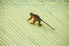 Affe, der auf ein Dach geht Lizenzfreies Stockbild
